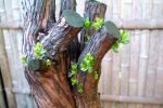 escallonia-foliage