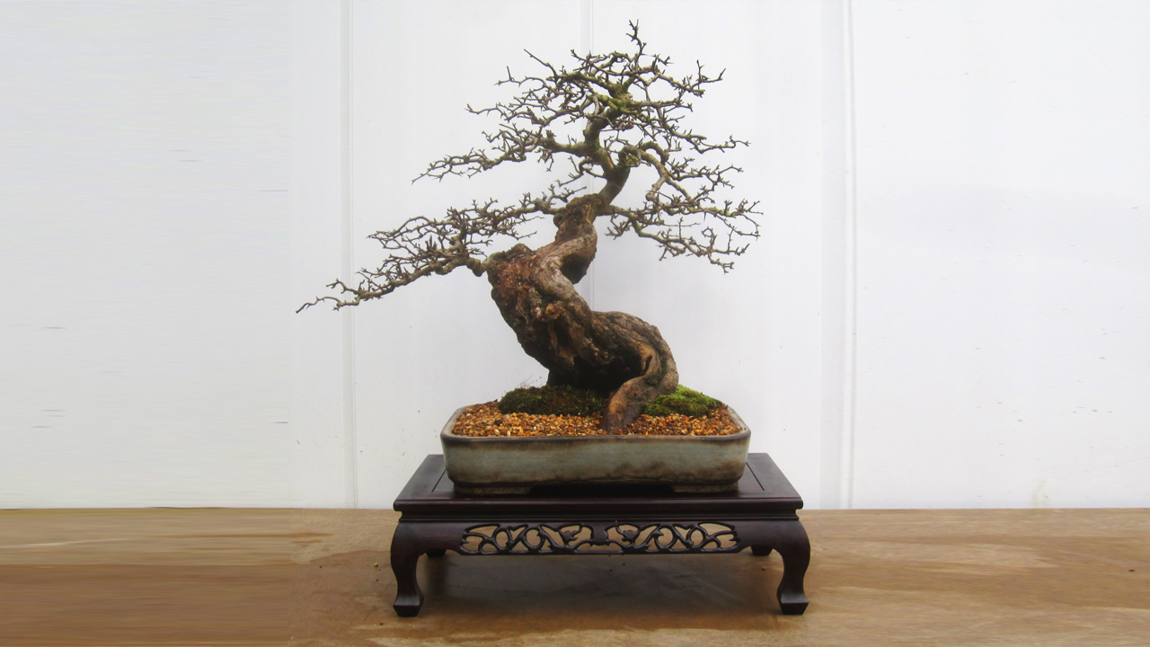Changing The Position Of A Hawthorn Bonsai When Re Potting Bonsai Yamadori From Tony Tickle