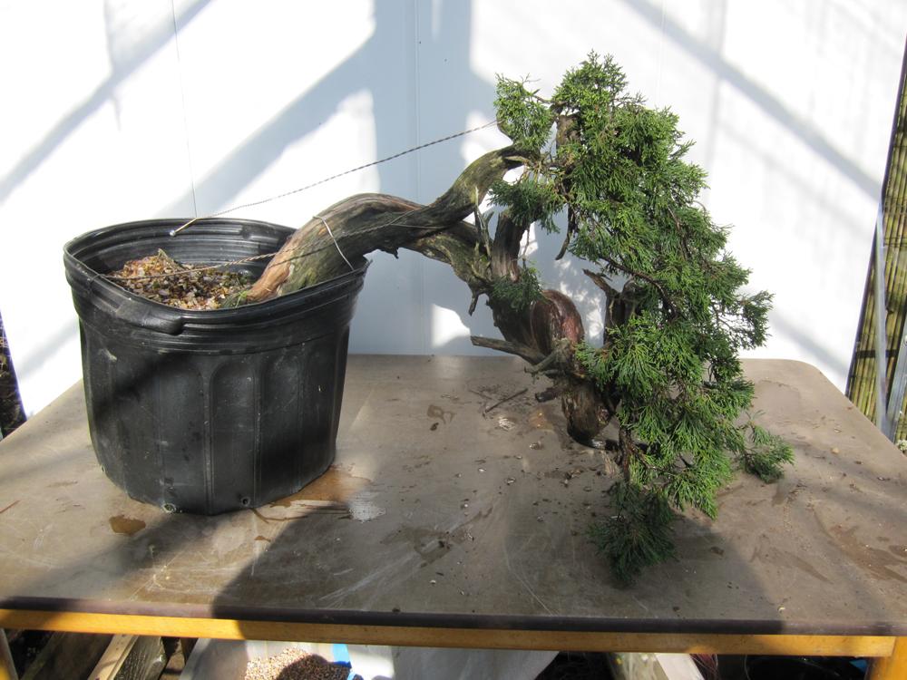 Repotting And Styling A Large Sabina Juniper Bonsai Yamadori From Tony Tickle
