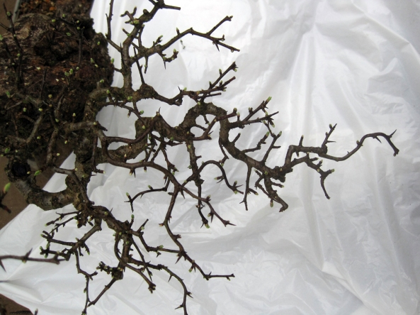 Hawthorn branch structure 01