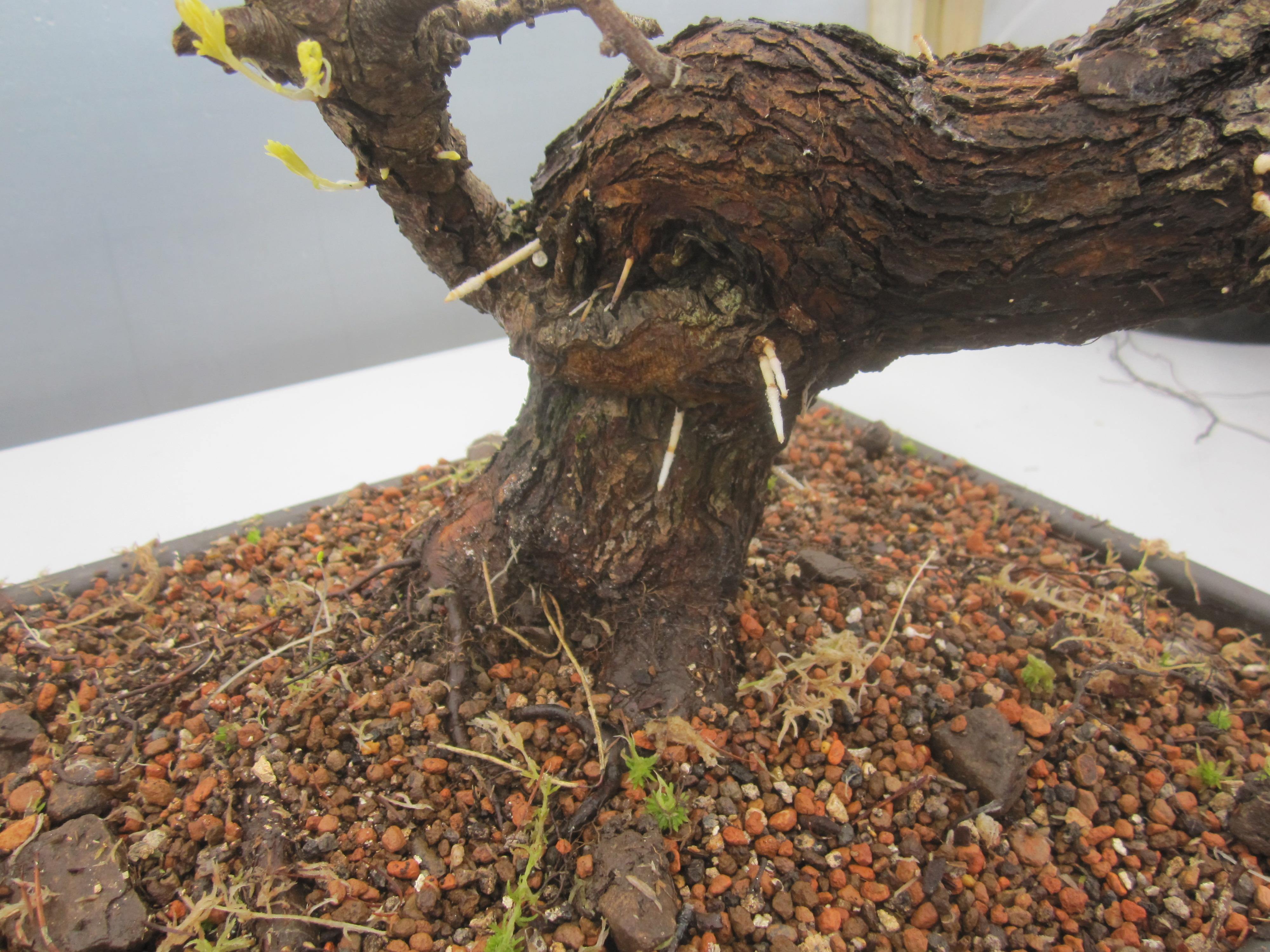 Bonsai Techniques Yamadori From Tony Tickle Wiring Yew Prunus Spinosa And Crataegustonyticklecrataegus Rootsprunus New Roots Direct The Old Trunkprunus Crataegus