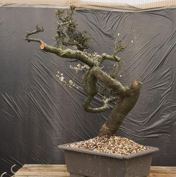 Blackthorn 03C