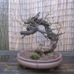 European larch as collected 1