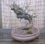 European larch as collected 3