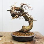 European larch first styling