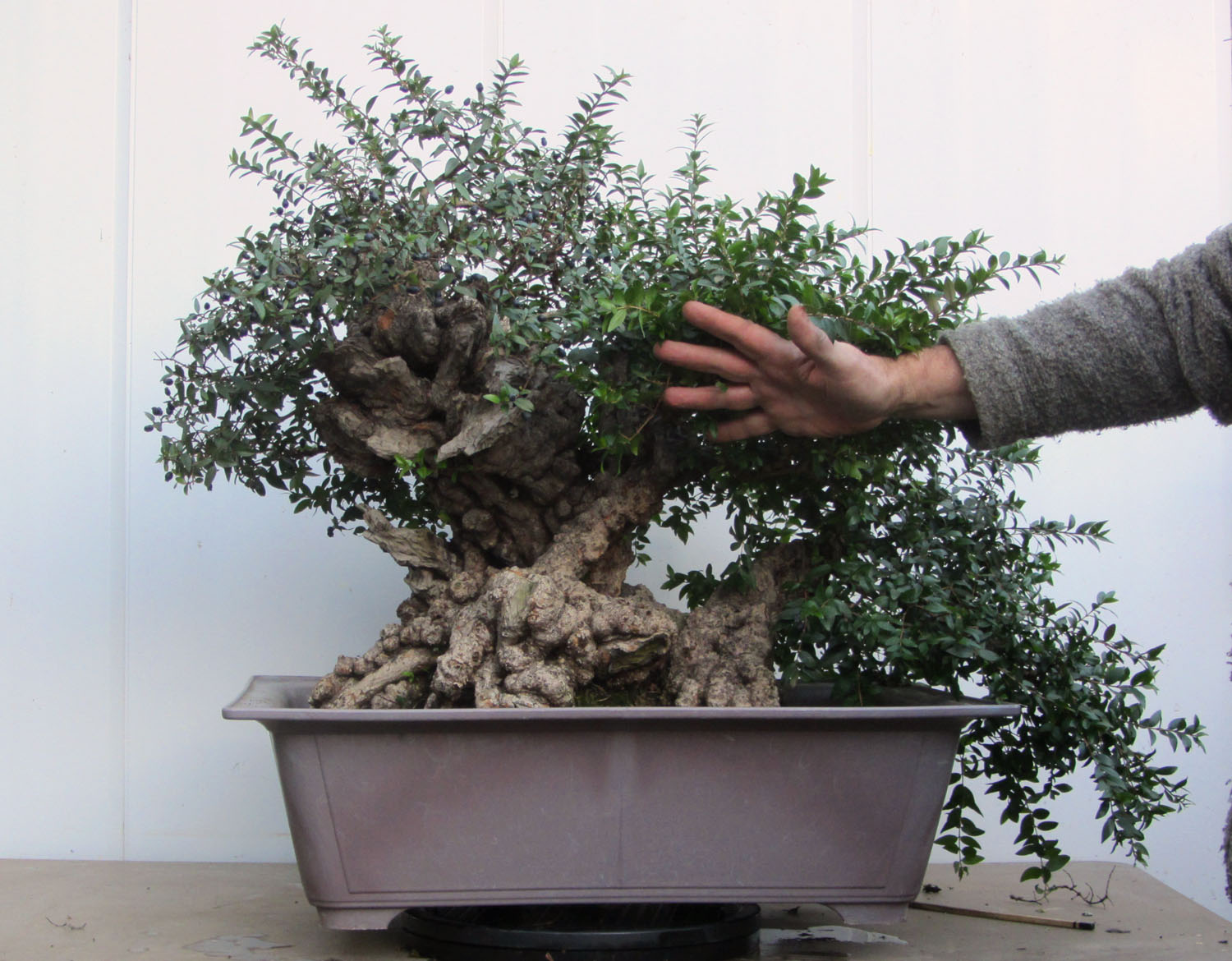 Tony Tickle Bonsai Yamadori From Page 60 Tree Wiring Video The