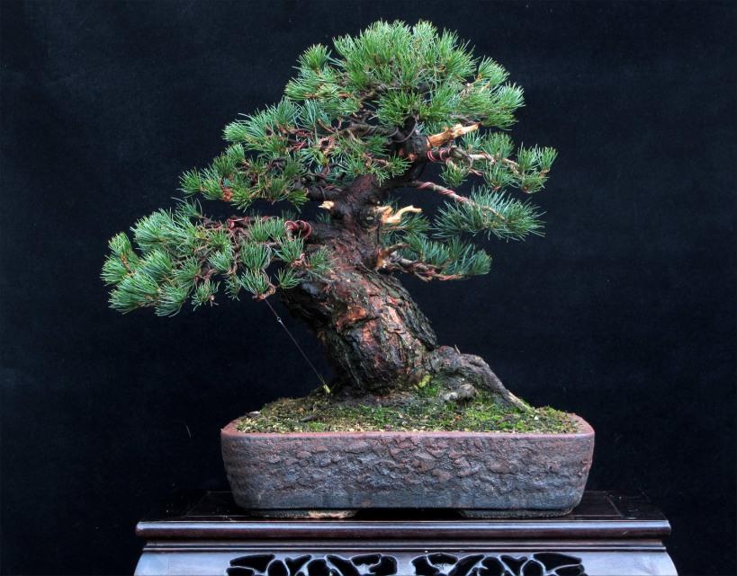 White Pine Bonsai styled