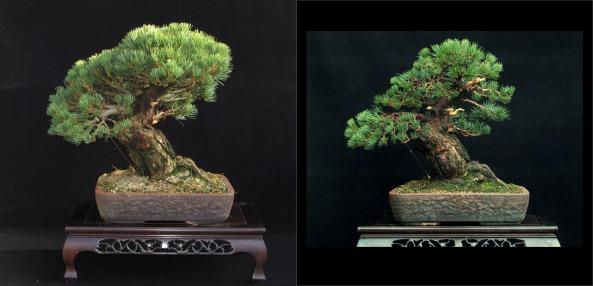 white pine comparison