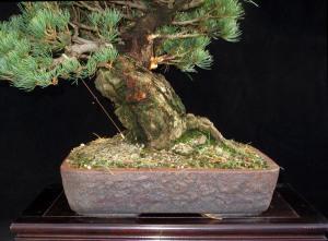 white pine nebari