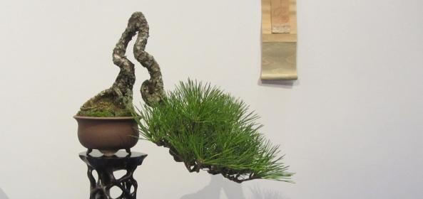 shohin pine