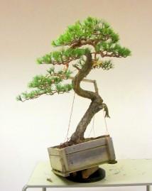David Barlows Pine