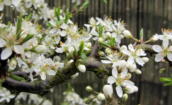 Blackthorn flowers
