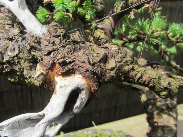 Larch deadwood