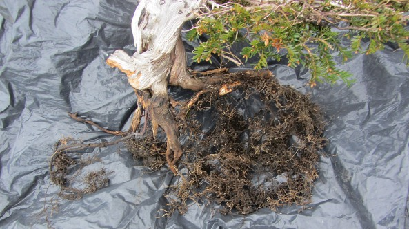 Here are the roots after removing the rock and cleaning the duff away