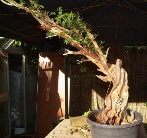When the tree was collected in 2007