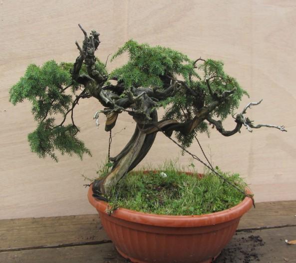 Juniperus Communis  01