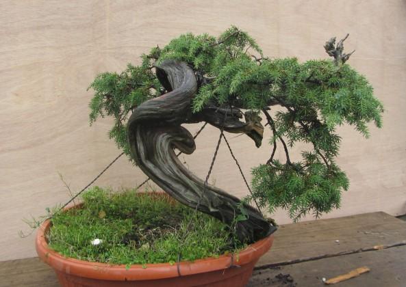 Juniperus Communis 02