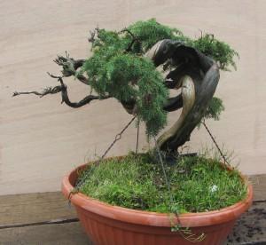 Juniperus Communis  03