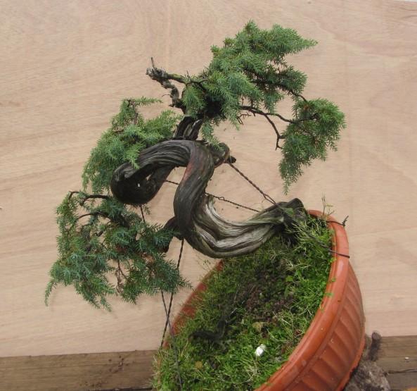 Juniperus Communis 05