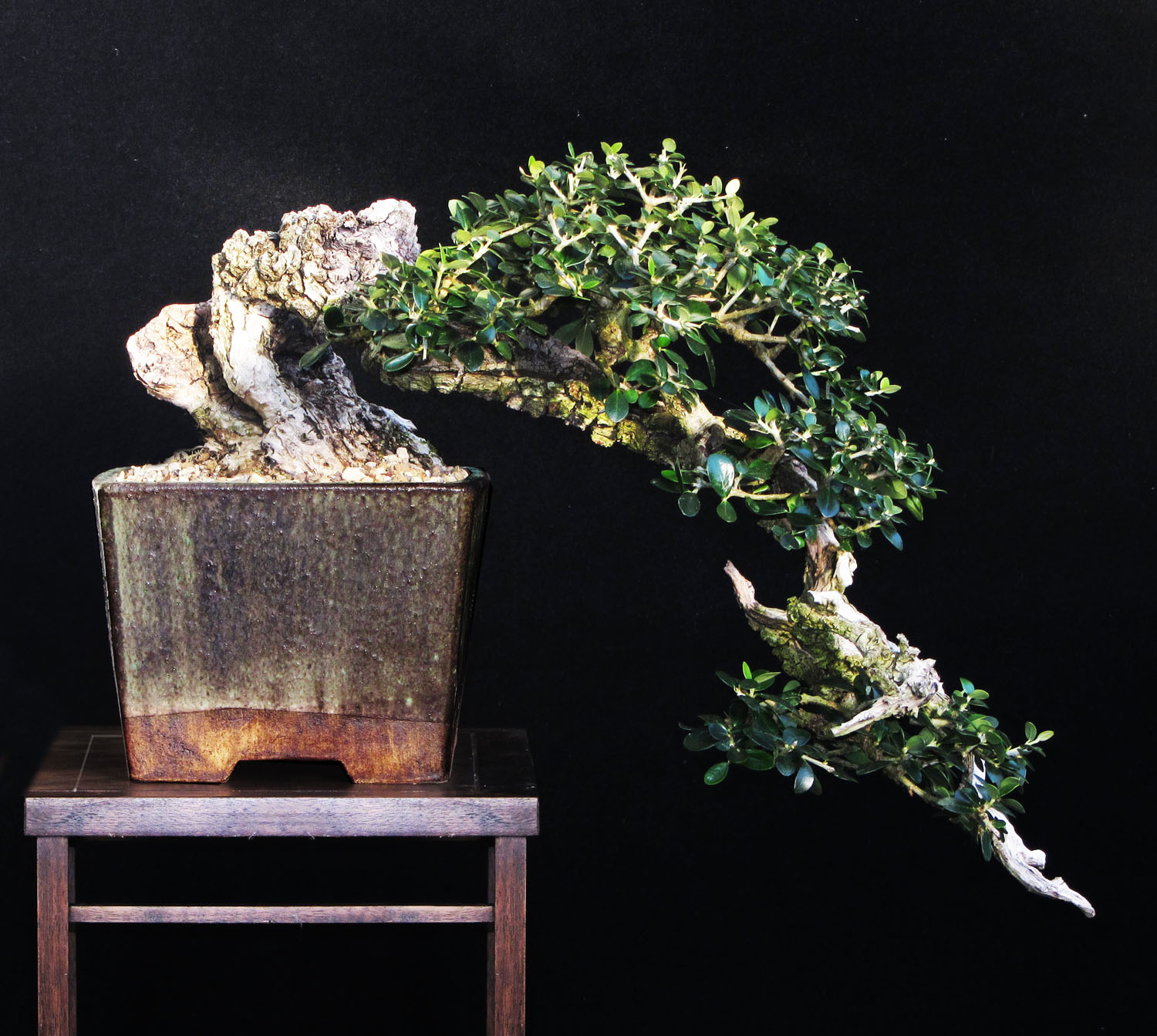 See The Bonsai In Raw Material Bonsai Yamadori From Tony Tickle