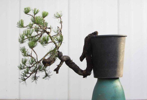 Pine 01