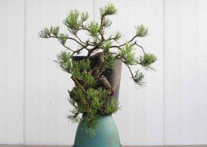 Pine 02