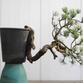 Pine 03