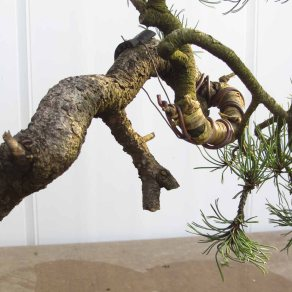 Pine 04