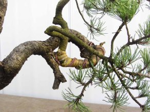 Pine 05