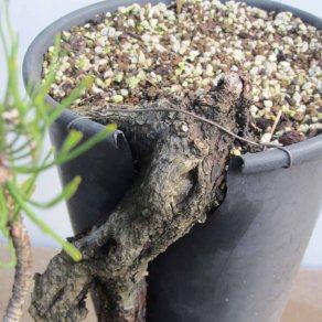 Pine 07