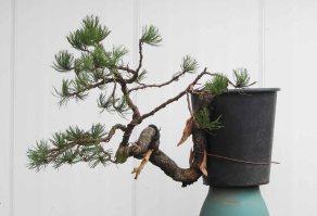 Pine 09