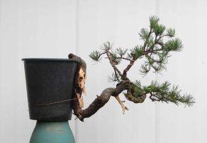 Pine 10
