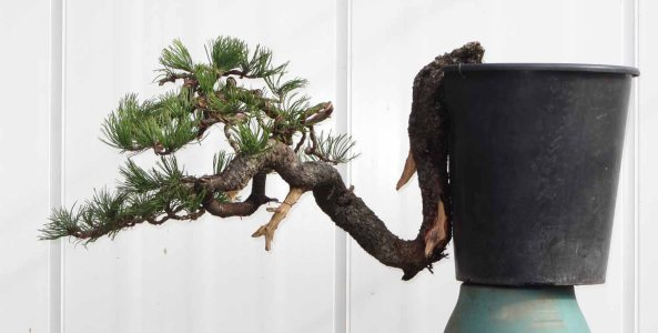 Pine 11