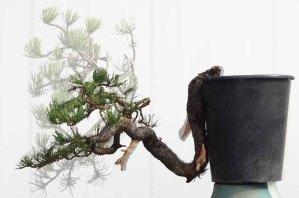 Pine overlay