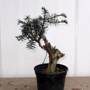 01 Cut down Shohin Yew