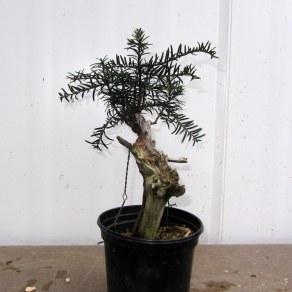 02 Cut down Shohin Yew
