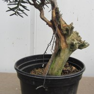 04 Cut down Shohin Yew