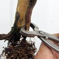06 Cut down Shohin Yew