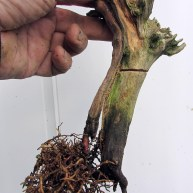 07 Cut down Shohin Yew
