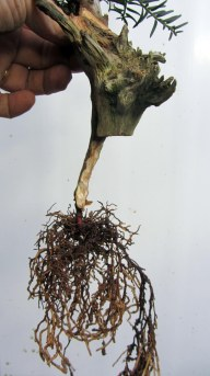 09 Cut down Shohin Yew