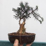 12 Cut down Shohin Yew