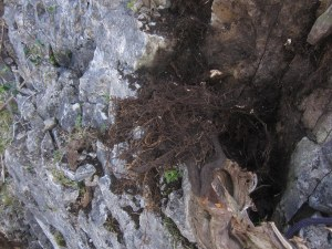 tree fallen out of cliff