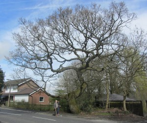Full Oak tree