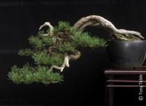 Cascade Mugo Pine July 2014 1500