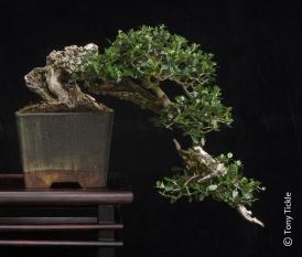 Cascade Olive July 2014 1500