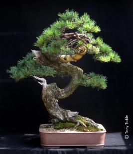 Twisty pine 1500
