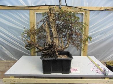 Cool Han Kengai Yew Second Wiring And Deadwood Bonsai Yamadori From Wiring 101 Capemaxxcnl