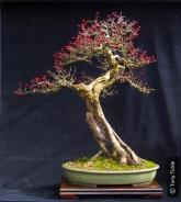 Tall Guy Hawthorn Berries sept 14 1000