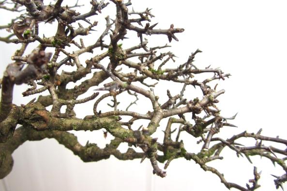 hawthorn branch structure