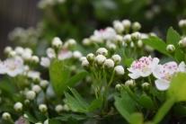 Hawthorn flowers 01